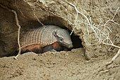 Hairy armadillo (Chaetophractus villosus), emerging from burrow, Punta Norte, Vales Peninsula, Argentina