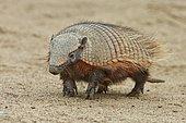 Large Hairy armadillo (Chaetophractus villosus), standing on tiptoe, Punta Norte, Valdes Peninsula, Argentina