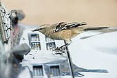 Patagonian mockingbird (Mimus patagonicus), feeding on dead insects on a car's windshield, Punta Norte, Valdes Pneinsula, Argentina.