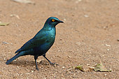 Greater Blue-eared Glossy-Starling (Lamprotornis chalybaeus) on ground, South Africa
