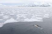 Beluga (Delphinapterus leucas) and fast ice, Brepollen, Hornsund, Southern Spitzbergen, Svalbard