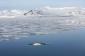 Béluga (Delphinapterus leucas) et banquise côtière, Brepollen, Hornsund, Sud du Spitzberg, Svalbard