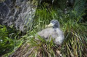 Cory's Shearwater (Calonectris borealis) juvenile in the Corvo island Forest. Portugal, Madeira and Azores.