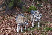 Gray wolves (Canis lupus), Bavarian Forest National Park, Bavaria, Germany.