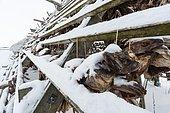 Cod fish heads drying in winter, Nordmela. Vesteralen Islands, Norway.