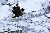 White-tailed Eagle (Haliaeetus albicilla) in flight, Lofoten Islands, Norway.