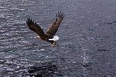 White-tailed Eagle (Haliaeetus albicilla) fishing in flight, Lofoten Islands, Norway.