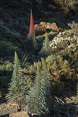 The Red Bugloss (Tajinaste Rojo in Spanish, Echium wildpretii) is an endemic plant from the Cañadas del Teide national Park