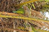 Conure veuve (Myiopsitta monachus) dans un Palmier, Barcelone, Espagne