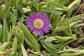 Carpobrotus edulis is a South African original plant now known as invasive in many environments, Spain