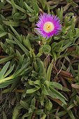 Hottentot fig (Carpobrotus edulis) is a South African original plant now known as invasive in many environments, Spain