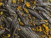 Yellowish fallen leaves among the tree superficial roots, Spain