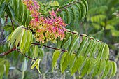 Tree of Heaven (Ailanthus altissima) is an invasive plant species to Europe, seriously harming local vegetation, Spain