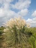 Cortaderia selloana is a South American plant now widely distributed to the Mediterranean, Spain