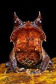 Malayan horned frog (Megophrys nasuta). Borneo. Malaysia. kubah national park. sarawak. l