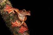 Halrequin Flying Frog (Rhacophorus pardalis). Borneo. Malaysia. Kubah national park. sarawak.