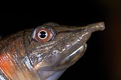 Portrait of Malayan softshell turtle (Dogania subplana). Borneo. Malaysia. kubah national park. sarawak.