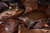 Malayan softshell turtle (Dogania subplana). Borneo. Malaysia. kubah national park. sarawak.