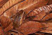 Malayan horned frog (Megophrys nasuta). Borneo. Malaysia. kubah national park. sarawak.