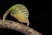 Leaf mimicking katydid. Borneo. Malaysia. Mount Kinabalu. Sabah.