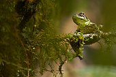 Mossy Bush Frog (Philautus macroscelis). Borneo. Malaysia. Mount Kinabalu. Sabah.