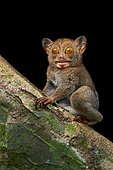 The rare and insectivorous primate of Borneo: Horsfield's tarsier (Tarsius bancanus). Photographed In the wild. Borneo. Malaysia. Danum Valley Conservation Area. sabah