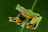 Wallace's flying tree frog (Rhacophorus nigropalmatus) on a leaf. Borneo. Malaysia.