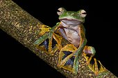 Wallace's flying tree frog (Rhacophorus nigropalmatus) on a branch. Borneo. Malaysia.