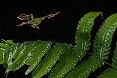 Wallace's flying tree frog (Rhacophorus nigropalmatus). Borneo. Malaysia