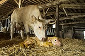 Cow licking her newborn calf in a stable