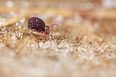 Springtail (Dicyrtomina sp) on a frosted leaf, France