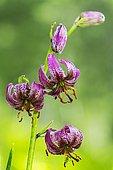 Purple Turk's Cap Lily (Lilium martagon), Vanoise, Savoie, Alps, France