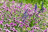 Lychnis fleur de Jupiter (Lychnis Flos-Jovis), Savoie, Alpes, France