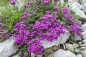 Rock Soapwort (Saponaria ocymoides), Orgère Valley, Savoy, Alps, France