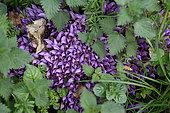 Nom:Lathrée clandestine;Clandestine : Lathraea clandestina. Classe:Dicotylédones. Ordre:Lamiales. Famille: Orobranchaceae - Orobranchacées. Plante vivace. Hauteur:4 - 6 cm. Floraison:Fin Mars - Mai. Plante sans chlorophylle. Très belle plante violet pourpre,vivant en parasite sur les racines des arbres dans les fonds humides. Saison:Printemps. Lieu:Au bord d'un fossé jouxtant un bois . Région de L'Entre-deux-mers. Aquitaine. Gironde. France.