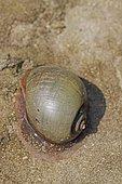 Escargot ampullaire à La Réunion