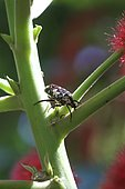 Cétoine de La Réunion sur une tige d'Acalypha