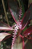 Inflorescence de Cordyline rouge La Réunion