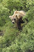Grizzly (Ursus arctos horribilis ) on bank , Junction Moraine-Funnel , Katmai National Park , Alaska