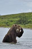 Grizzly (Ursus arctos horribilis ) fishing , Junction Moraine-Funnel , Katmai National Park , Alaska