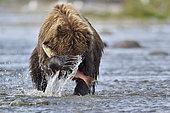 Grizzly (Ursus arctos horribilis) catching a salmon, confluence of Moraine Creek and Funnel Creek, Katmai National Park, Alaska