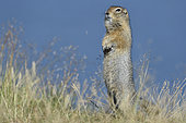 Arctic Ground Squirrel (Spermophilus parryii), Katmai National Park, Alaska