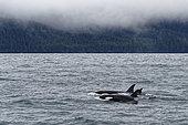 Killer whale (Orcinus orca) swimming on the surface, Valdez, Alaska