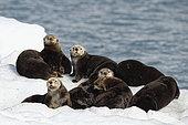 Sea Otters ( Enhydra lutris ) on ice, Valdez, Alaska