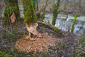 Tree eaten by a European Beaver (Castor fiber), Ain, France