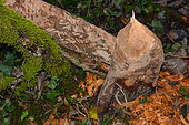 Tree eaten by a European beaver (Castor fiber), with the traces of the teeth very visible, Savoie, France