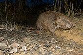 European Beaver (Castor fiber) coming out at dusk, Ain, France