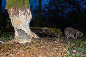 European Beaver (Castor fiber) coming to eat a big tree at dusk, Ain, France