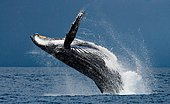 Humpback whale jumps out of the water. Beautiful jump. A rare photograph. Madagascar. St. Mary's Island.