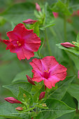 Marvel-of-peru (Mirabilis jalapa) in bloom in a garden